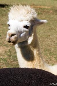 Finca-Serena-Alpaca-Ranch-Artisanal-Products-And-New-Friends_03_YourCalvert