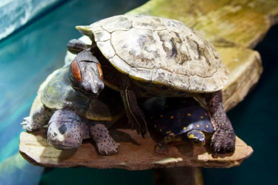 Battle Creek Cypress Swamp Turtles