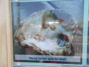 Cultivating-Oysters-in-Chesapeake-Beach_03_Yourcalvert