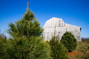 Scriveners Choose And Cut Christmas Trees Farm Fields Of Trees